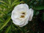 sl370577-bunga-putih1